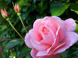 roseimages